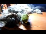 Наглый попугай и кот пофигист :)